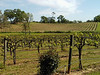 Young's Vineyard