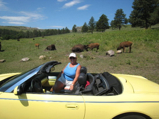 Where the Buffalo roam in Custer State Park, Custer, SD