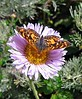 Butterfly on flower - take at Point Lobos near Monterey CA - May 2004