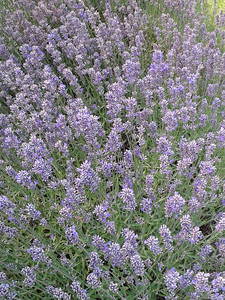 Neighbor's lavendar