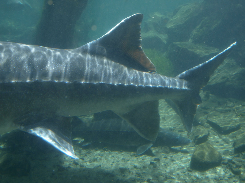Sturgeon at the Bonneville Fish Hatchery