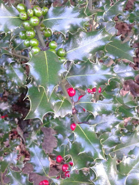 Neighbor's holly