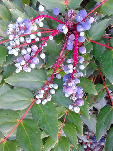 More neighbor's blueberries