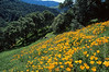poppies sulfer mtn