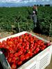 redbellpepperharvest