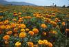 ventura marigold field