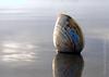 pismo clam