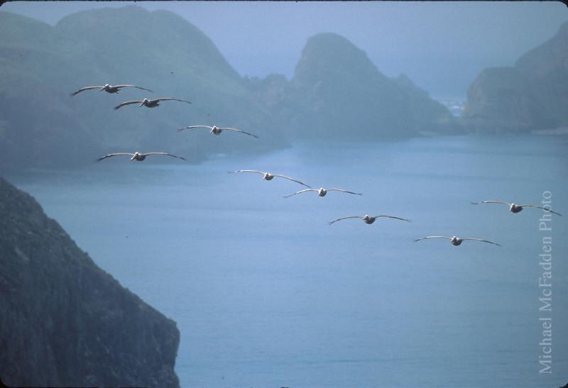 pelicans anacapa