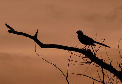 Lovely late afternoon intertainment... a singing Mockingbird.