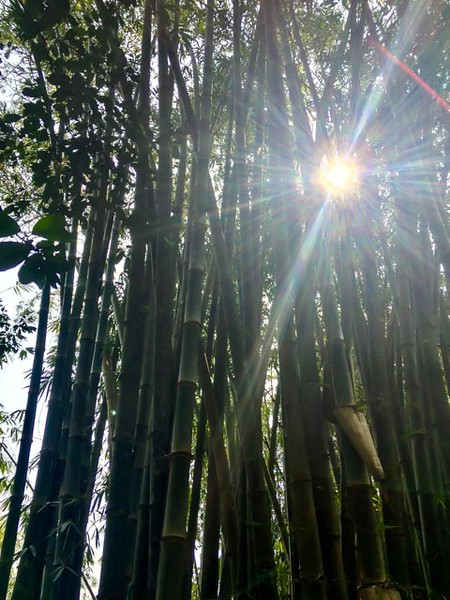 Beautiful stand of bamboo