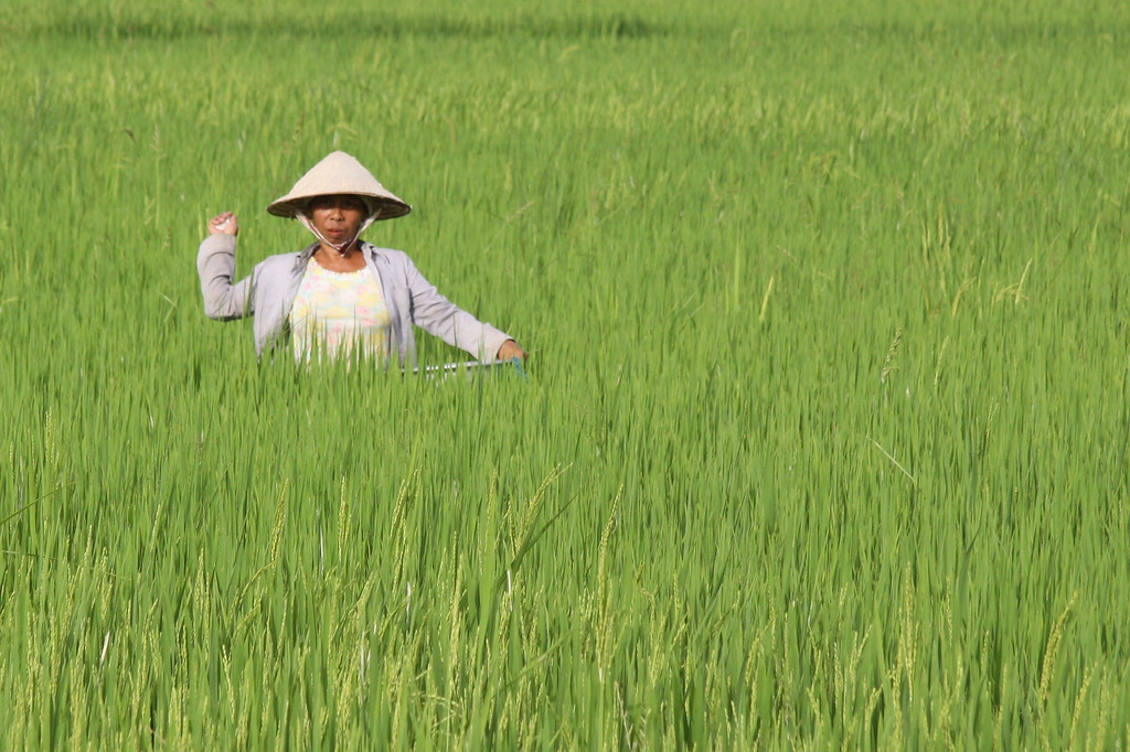 Working the Rice Paddy