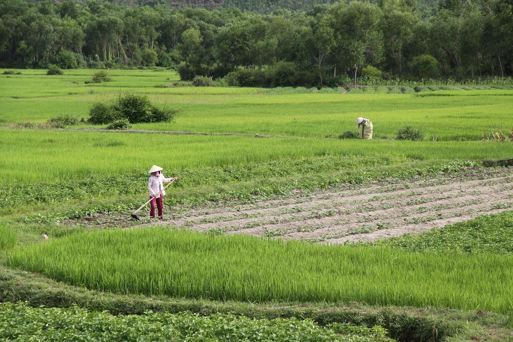 Rice Fields near Hoi An