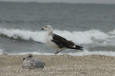 October 7, 2012 - (Chincoteague National Wildlife Refuge [beach] / Chincoteague Island, Accomack County, Virginia) -- Great Black-backed Gull