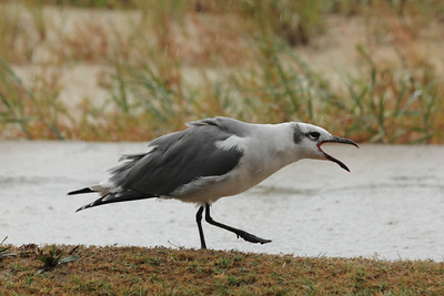 October 7, 2012 - (Cape Charles / Cape Charles, Northampton County, Virginia) -- Laughing Gull wants some of our pizza
