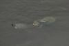 October 8, 2012 - (Pea Island National Wildlife Refuge [North Pond Visitor Center] / Cape Hatteras National Seashore, Dare County, North Carolina) -- Snapping Turtles