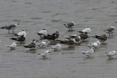 October 7, 2012 - (Chincoteague National Wildlife Refuge / Chincoteague Island, Accomack County, Virginia) -- Laughing Gulls, Black Skimmers and Forster Terns