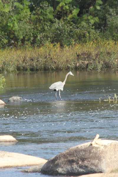 October 10, 2012 - (James Park Complex [Wetlands & Pony Pasture] / Richmond, Virginia) -- Great Blue Heron