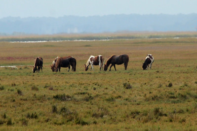 October 7, 2012 - (Chincoteague National Wildlife Refuge / Chincoteague Island, Accomack County, Virginia) -- Wild Horses [often referred to as Ponies]