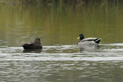October 9, 2012 - (Hoffler Creek Wildlife Refuge / Portsmouth, Virginia) -- American Black Duck and male Mallard