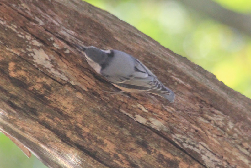 October 13, 2012 - (New River Gorge National River [Grandview visitor center] / Grandview, Raleigh County, West Virginia) -- White-breasted Nuthatch