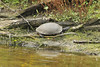 October 8, 2012 - (Pea Island National Wildlife Refuge [North Pond Visitor Center] / Cape Hatteras National Seashore, Dare County, North Carolina) -- Turtle
