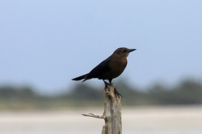 October 8, 2012 - (Pea Island National Wildlife Refuge [North Pond Visitor Center] / Cape Hatteras National Seashore, Dare County, North Carolina) -- Female Boat-tailed Grackle