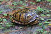 October 9, 2012 - (Hoffler Creek Wildlife Refuge / Portsmouth, Virginia) -- Eastern Box Turtle