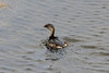 October 8, 2012 - (Bodie Island Lighthouse [boardwalk] / Cape Hatteras National Seashore, Dare County, North Carolina) -- Pied-billed Grebe