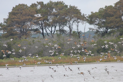 October 7, 2012 - (Chincoteague National Wildlife Refuge / Chincoteague Island, Accomack County, Virginia) -- Willets and Marbled Godwits in flight