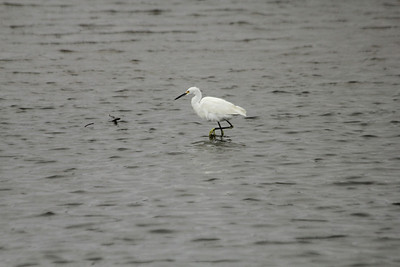 October 7, 2012 - (Chincoteague National Wildlife Refuge / Chincoteague Island, Accomack County, Virginia) -- Snowy Egret