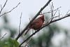 October 9, 2012 - (Hoffler Creek Wildlife Refuge / Portsmouth, Virginia) -- Our 1st Virginia Northern Cardinal [Virginia state bird]