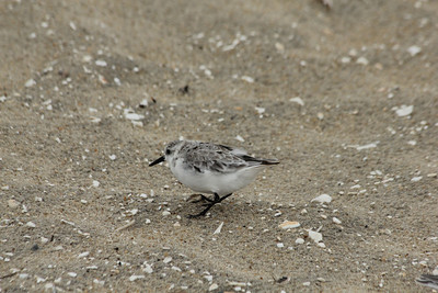 October 7, 2012 - (Chincoteague National Wildlife Refuge [beach] / Chincoteague Island, Accomack County, Virginia) -- Sanderling