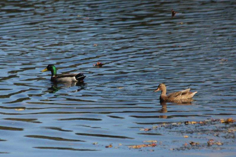October 10, 2012 - (James Park Complex [Wetlands & Pony Pasture] / Richmond, Virginia) -- Mallard pair