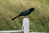 October 8, 2012 - (Pea Island National Wildlife Refuge [North Pond Visitor Center] / Cape Hatteras National Seashore, Dare County, North Carolina) -- Male Boat-tailed Grackle