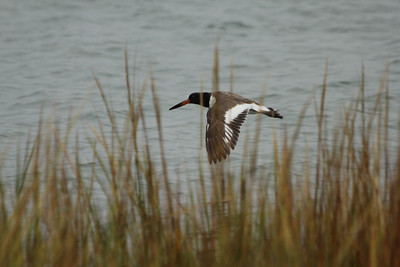 October 7, 2012 - (Chincoteague National Wildlife Refuge [Queen's Sound Access] / Chincoteague Island, Accomack County, Virginia) -- American Oystercatcher