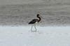 October 8, 2012 - (Pea Island National Wildlife Refuge [North Pond Trail, in North Pond] / Cape Hatteras National Seashore, Dare County, North Carolina) -- Tricolored Heron