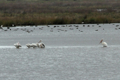 October 8, 2012 - (Pea Island National Wildlife Refuge [North Pond Trail] / Cape Hatteras National Seashore, Dare County, North Carolina) -- American White Pelicans