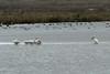 October 8, 2012 - (Pea Island National Wildlife Refuge [North Pond Trail] / Cape Hatteras National Seashore, Dare County, North Carolina) -- American White Pelicans