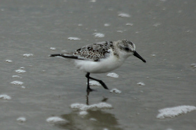 October 7, 2012 - (Fisherman's Island National Wildlife Refuge / Cape Charles, Northampton County, Virginia) -- Sanderling on beach