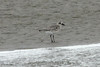 October 8, 2012 - (Pea Island National Wildlife Refuge [North Pond Trail, in North Pond] / Cape Hatteras National Seashore, Dare County, North Carolina) -- Black-bellied Plover
