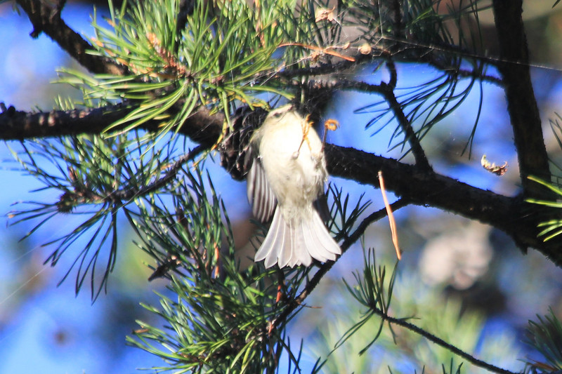 October 13, 2012 - (Shenandoah National Park [Dickey Ridge visitor center parking lot] / Front Royal, Warren County, Virginia) -- Golden-crowned Kinglet in hover flight