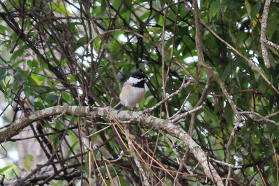 October 8, 2012 - (Wright Brothers National Memorial / Kill Devils Hill, Dare County, North Carolina) -- Carolina Chickadee in Carolina