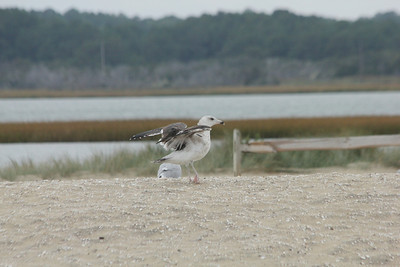October 7, 2012 - (Chincoteague National Wildlife Refuge [beach] / Chincoteague Island, Accomack County, Virginia) -- Ring-billed Gull