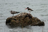 October 7, 2012 - (Chincoteague National Wildlife Refuge [Queen's Sound Access] / Chincoteague Island, Accomack County, Virginia) -- Juvenile Laughing Gull and American Oystercatcher
