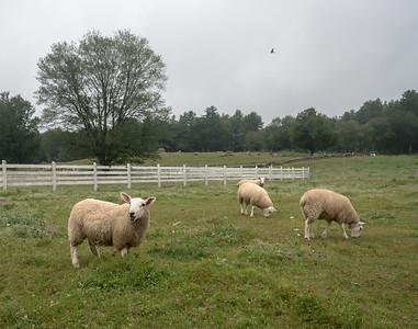 Remick Museum Sheep