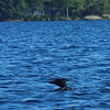 A loon on the lake.