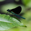 Ebony Jewelwing, Jackman Pond, NH