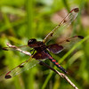 Calico Pennant, Jackman Pond, NH