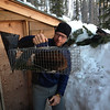 Tom caught a Pine Marten who had gotten a little too comfortable stealing food from inside the yurt.