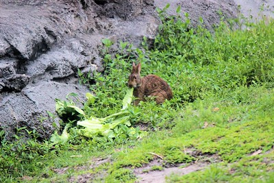Disney had several wild cotton tail rabbits around. This one was with the gorillas. Looks like Disney feeds the wild rabbits.